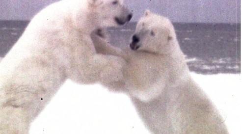 Orientation Polar Bears